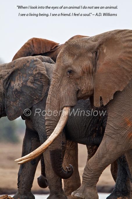 Tsavo Elephant 8965W8WMQ