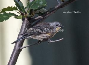 Audubon's Warbler 0450W1WMT