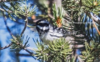 Black-throated Gray Warbler 5379W1WML