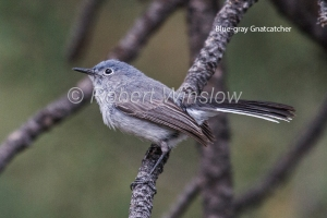 Blue-gray Gnatcatcher 4683W1WML