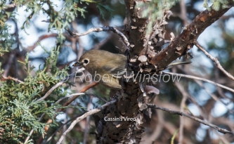 Cassin's Vireo, Vireo cassinii, La Plata County, Colorado, USA, North America