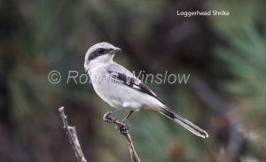 Loggerhead Shrike 5336bW1WML