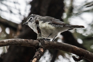 Plumbeous Vireo, Vireo plumbeus, La Plata County, Colorado, USA, North America