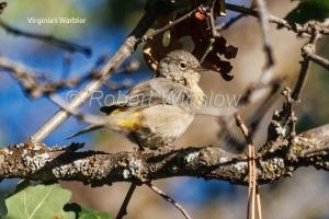 Virgina's Warbler 5461W1WMT