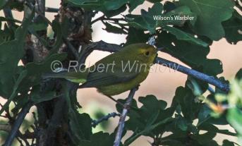 Warbler 5417W1WML