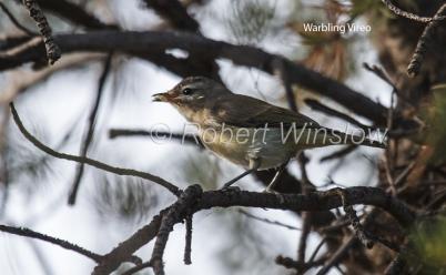 Warbling Vireo, Vireo gilvus, La Plata County, Colorado, USA, North America