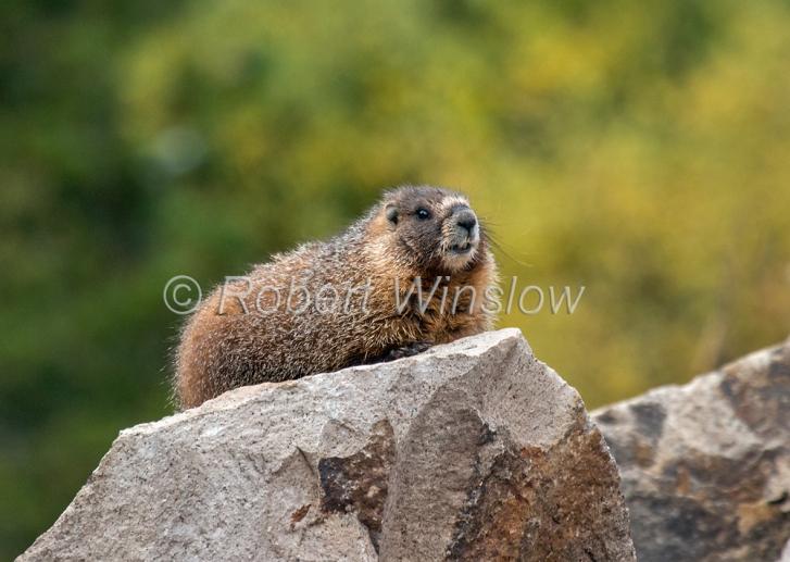 Marmot 2336W1WM