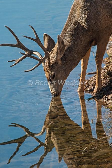 Mule Deer Buck Drinking Water 2739W1WM