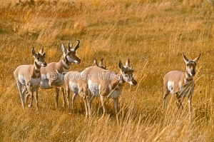 Pronghorn W13WM