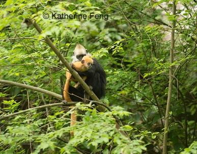 Adult and infant white-headed langur
