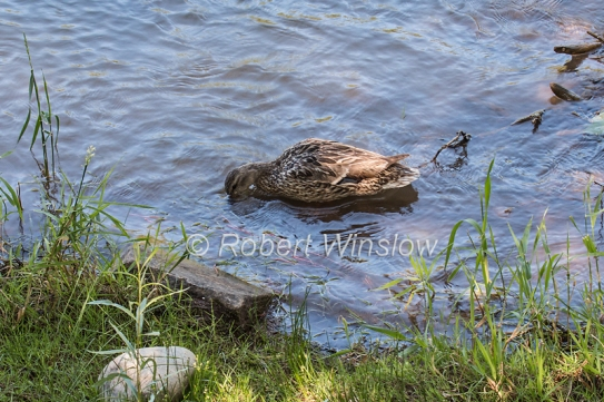 Mallard Duck looking for food on the bottom of the Animas River, Sunday August 09, 2015