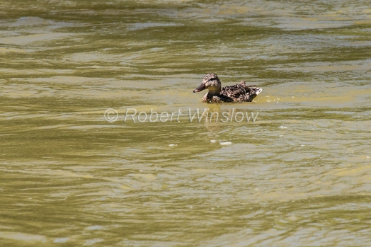 Mallard Duck swimming in the Animas River, Sunday August 09, 2015
