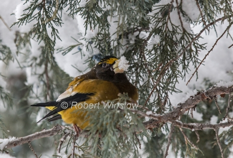 Evening Grosbeak 7256W1WM