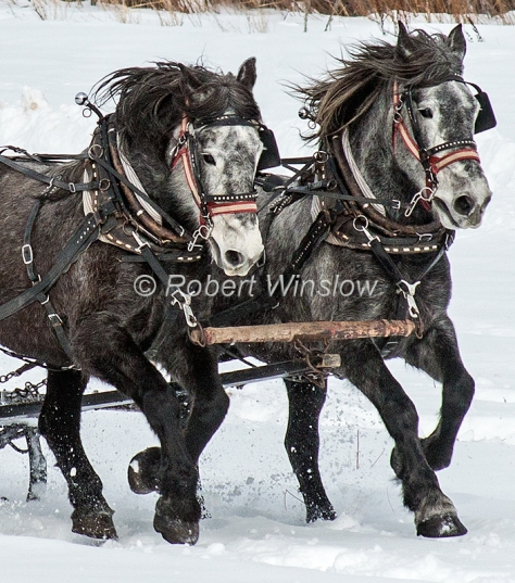 Two Horses Running Fast Pulling a Sleigh, Durango, Colorado, USA, North America