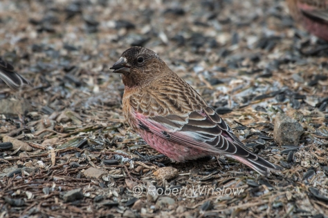 Brown-capped Rosy-Finch 7909W!WM