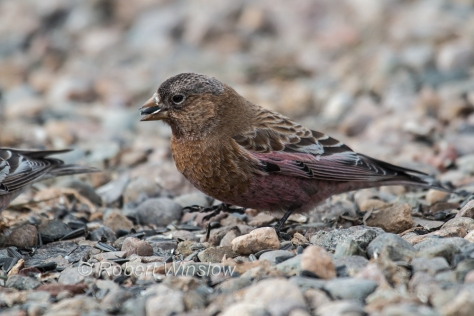 Brown-capped Rosy-Finch 7961W!WM