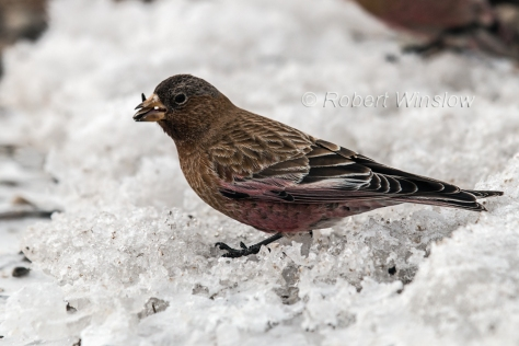 Brown-capped Rosy-Finch7991W!WM