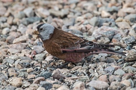 Gray-crowned Rosy Finch 7931W!WM