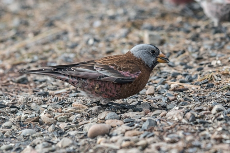 Gray-crowned Rosy Finch 7976W!WM