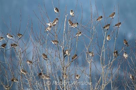 House Sparrows,  Passer domesticus, Silverton, Colorado, USA, North America