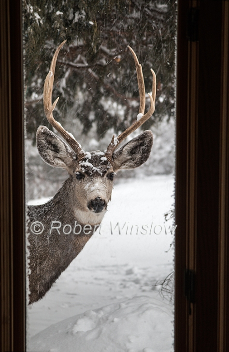 Male Mule Deer Looking in Window in Winter 7189W8WM