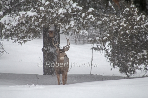 Mule Deer Buck in Winter 7179W8WM