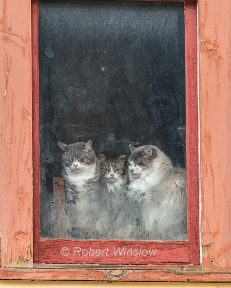 Three Cats in a Window in Silverton; Colorado; USA; North America