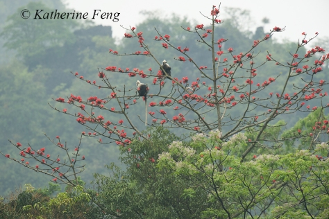 Langurs in Red Cotton TreeW8