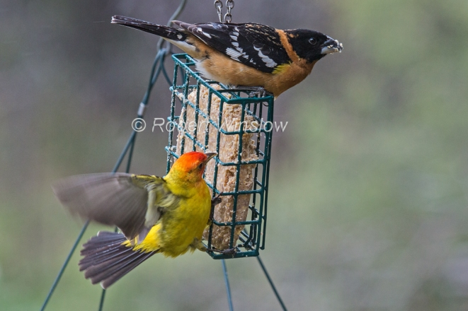 Black-headed Grosbeak and Western Tanager7978bW1WM