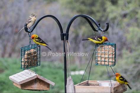 Female Black-headed Grosbeak and 3 Male Western Tanagers 7852W1WM