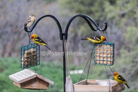Female Black-headed Grosbeak and 3 Male Western Tanagers 7852W1WM