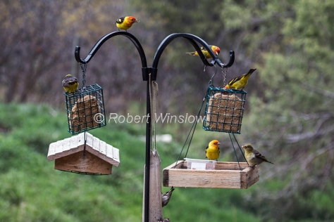 Six Western Tanagers 8001W1WM