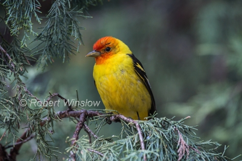 Western Tanager 8018W1WM