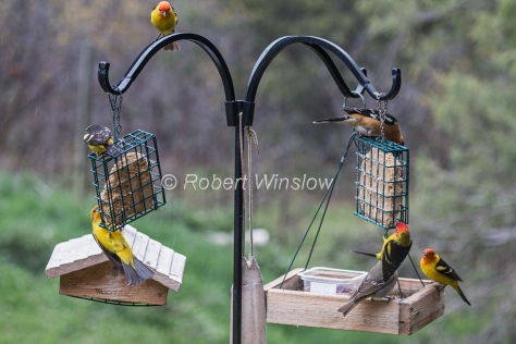 Western Tanagers and Black-headed Grosbeak 7958W1WM