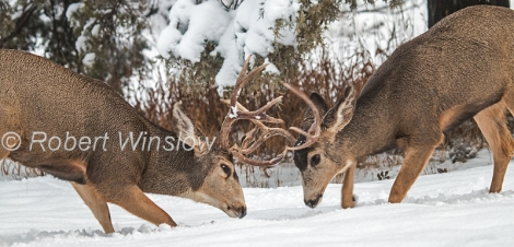 Two Male Mule Deer, Odocoileus hemionus, Fighting, Winter, La Plata County, Colorado, USA, North America