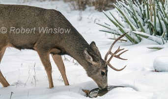 Male Mule Deer, Odocoileus hemionus, Winter, La Plata County, Colorado, USA, North America
