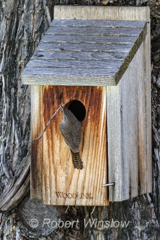 House Wren at Nest Box 0103W8WM