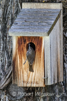 House Wren at Nest Box 0106W8WM