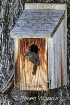House Wren at Nest Box 0111W8WM