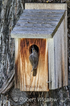 House Wren at Nest Box 0112W8WM