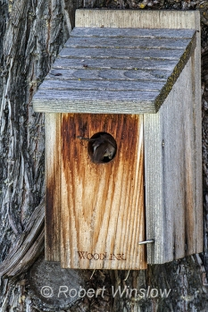 House Wren at Nest Box 0115W8WM