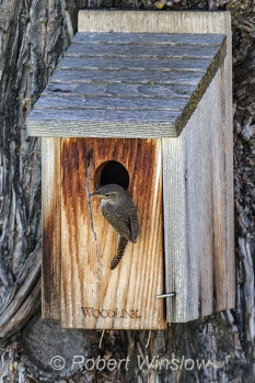 House Wren at Nest Box 0187W8WM