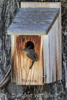 House Wren at Nest Box 0188W8WM