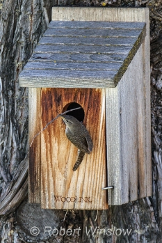 House Wren at Nest Box 0189W8WM