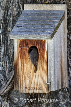 House Wren at Nest Box 0190W8WM
