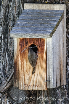 House Wren at Nest Box 0223W8WM
