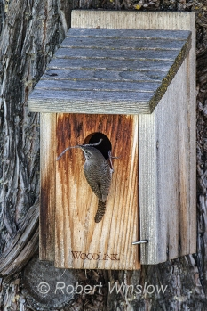 House Wren at Nest Box 0224W8WM
