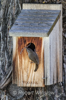 House Wren at Nest Box 0228W8WM