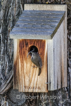 House Wren at Nest Box 0231W8WM