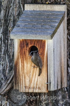House Wren at Nest Box 0232W8WM